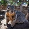 Наглое животное из Гран Каньона