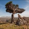 Драконовые деревья на острове Сокотра