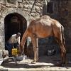 Домашний верблюд, на улице Саны