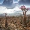 Цветы бутылочных деревьев