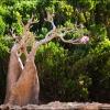 Цветущее бутылочное дерево Сокотры
