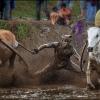 Гонки на быках Pacu Jawi