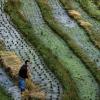 Про последний несжатый колосок или как мы опять не успели на уборку риса на террасах Драконьего Хребта
